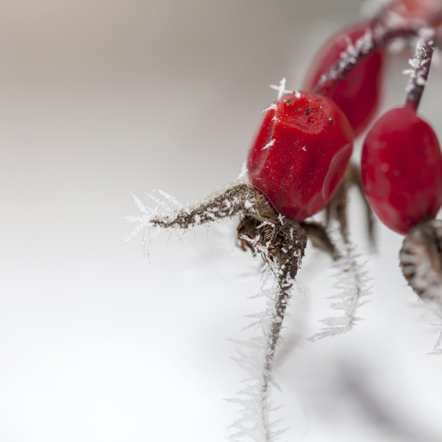 """Close up on frosted wild rose berry in winter"" stock image"
