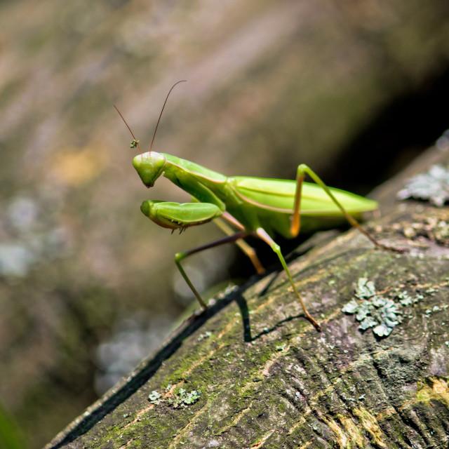 """""""Praying Mantis in natural environment"""" stock image"""