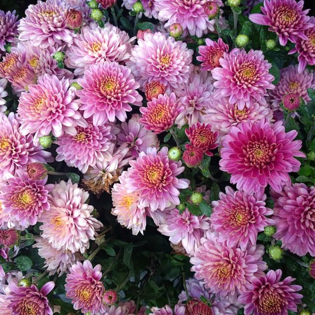 """Beautiful arrangement of pink chrysanthemums"" stock image"