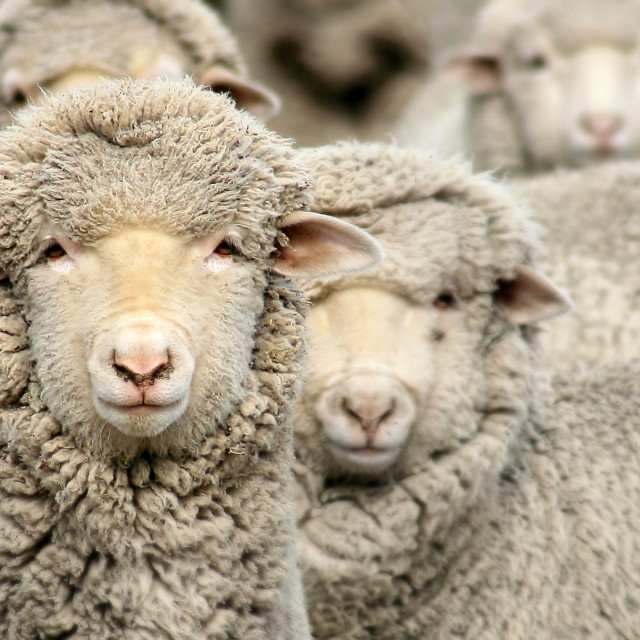"""""""high country lambs"""" stock image"""