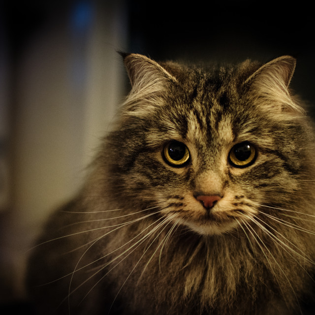 """Siberian norwegian forest cat maine coon Felis catus russian"" stock image"