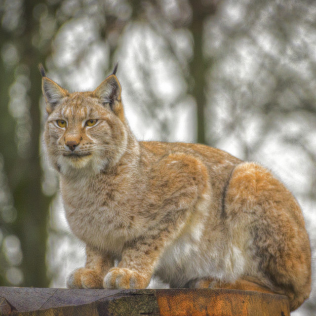 """Lynx."" stock image"