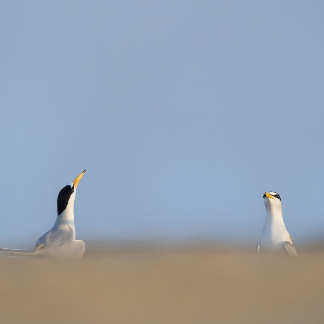 """""""Courting Least Tern Pair"""" stock image"""