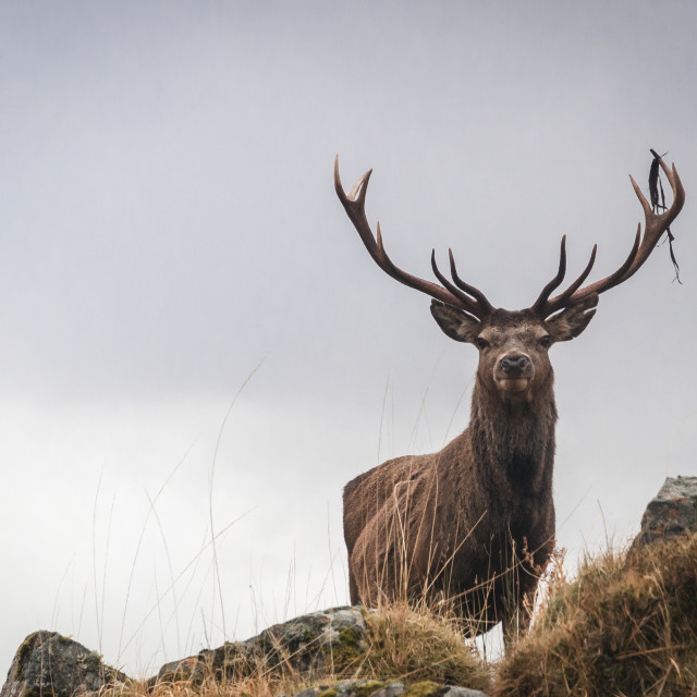 """Close Red Deer Stag"" stock image"