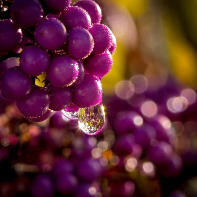 """Purple berries"" stock image"