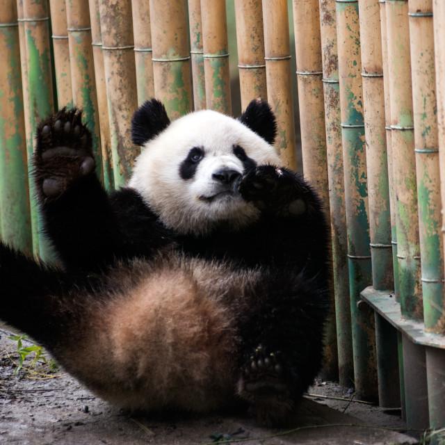 """Funny Panda"" stock image"