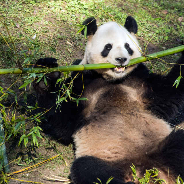 """Panda eating"" stock image"