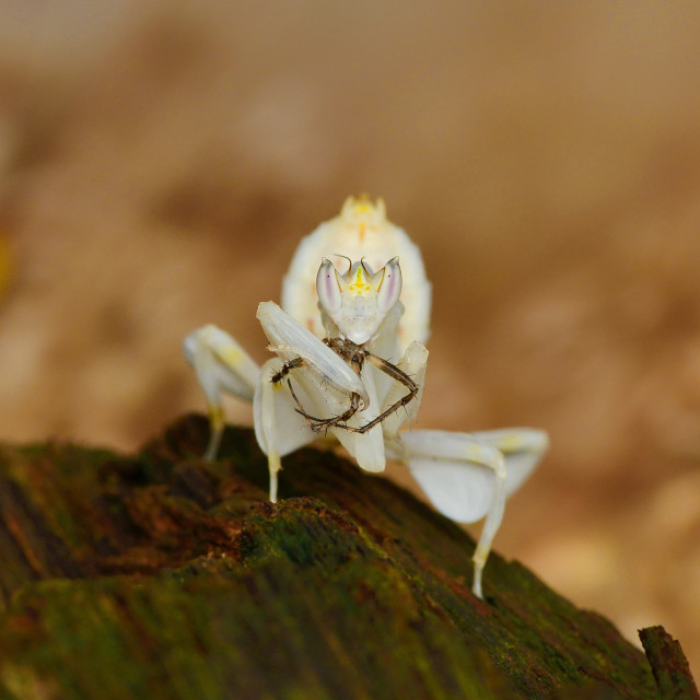 """""""Orchid Mantis With Prey"""" stock image"""