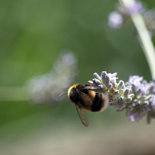 """Bumble Bee on Lavander"" stock image"