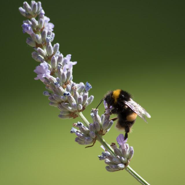 """Bee on Lavander"" stock image"