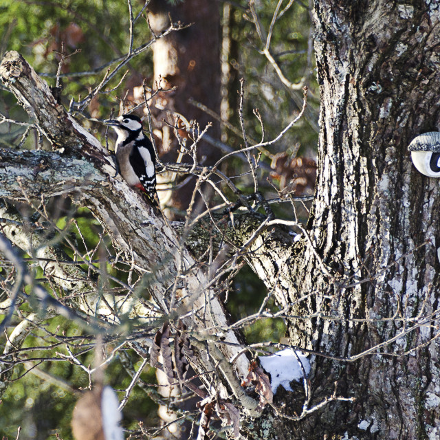 """""""Woodpecker in the tree"""" stock image"""