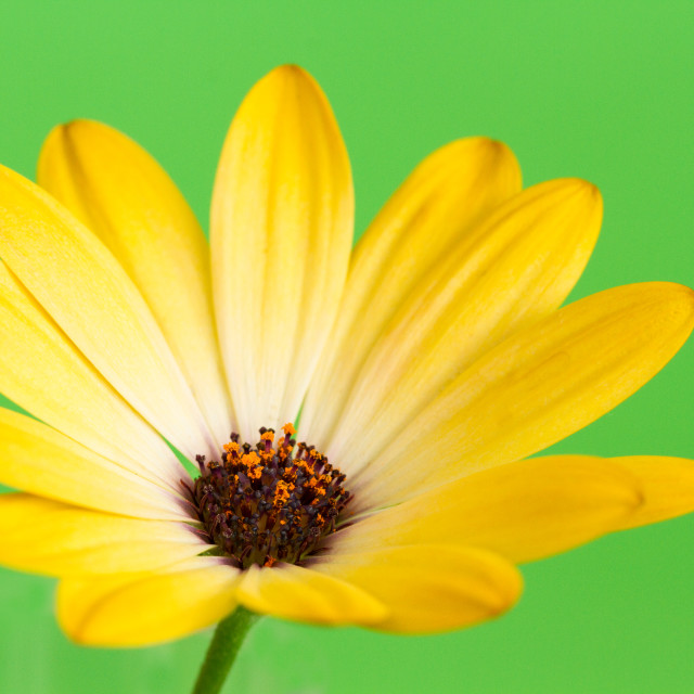 """Yellow Daisy"" stock image"