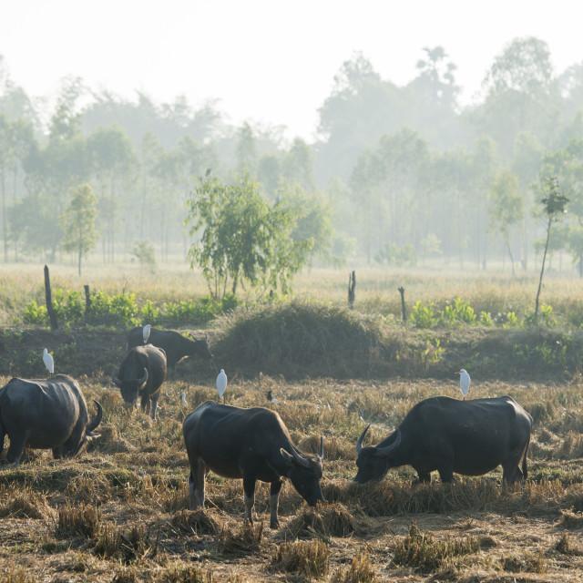 """THAILAND ISAN UDON THANI AGRICULTURE BUFFALO"" stock image"