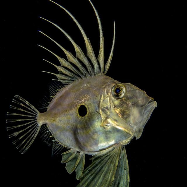 """""""Pesce San Pietro"""" stock image"""