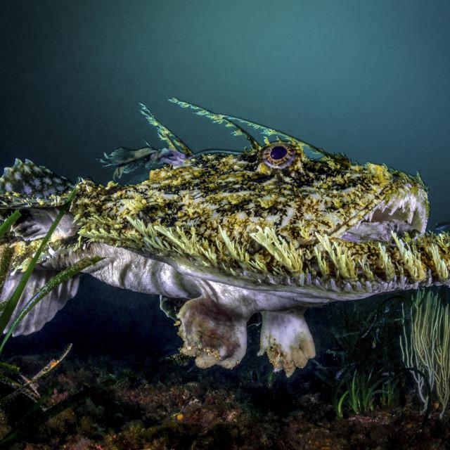 """""""anglerfish"""" stock image"""