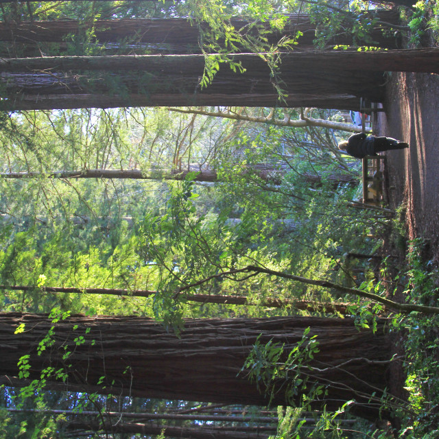 """""""redwood forest track"""" stock image"""