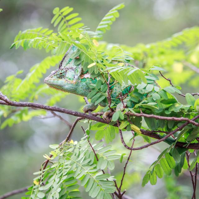 """Veiled Chameleon hiding on a branch."" stock image"