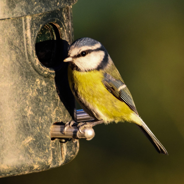 """Blue Tit Feeds"" stock image"