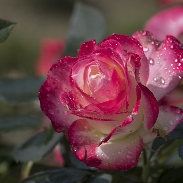 """A rose in my garden"" stock image"