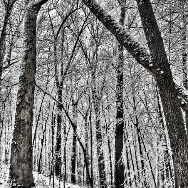 """""""wet snow on forest trees"""" stock image"""