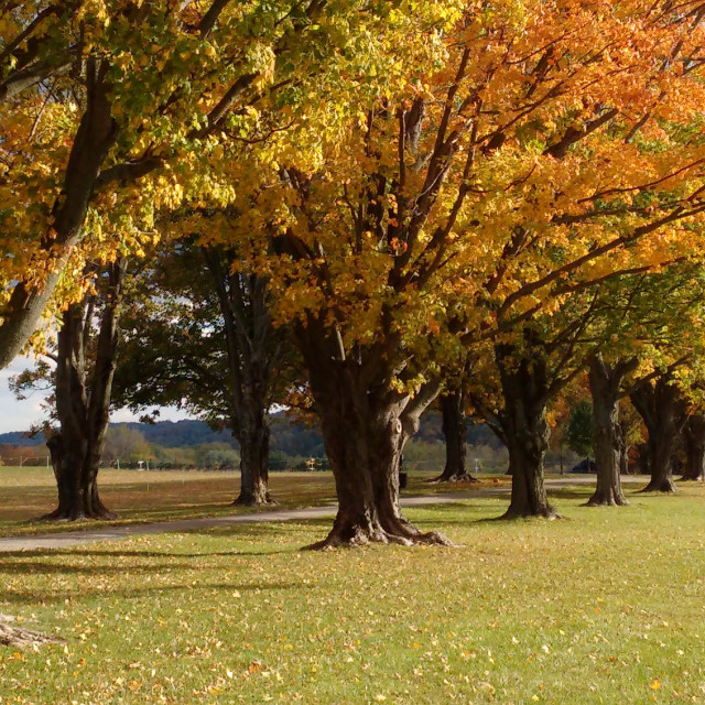 """""""golden maple trees in a row"""" stock image"""