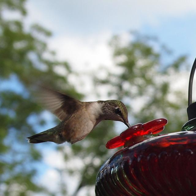 """hummingbird at backyard feeder"" stock image"