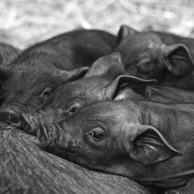 """Piglets Feeding"" stock image"