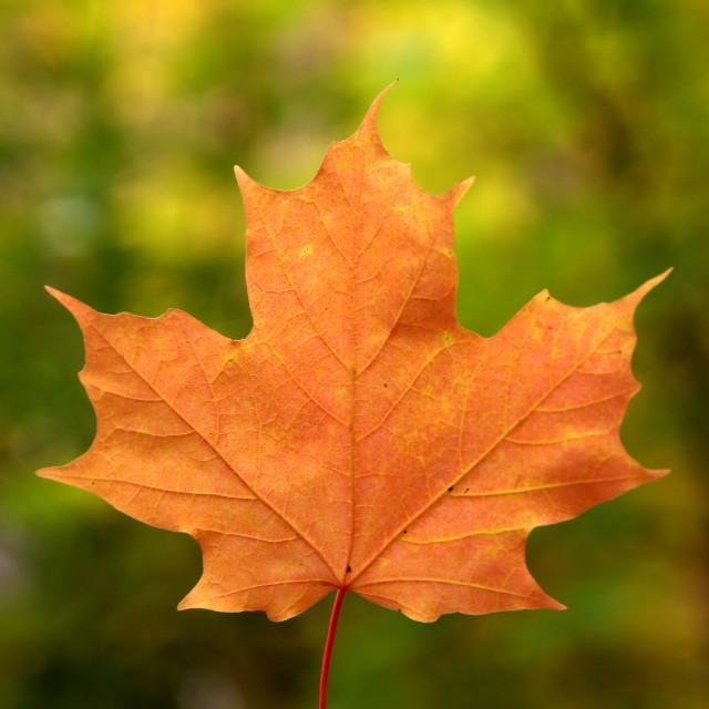 """Orange Leaf"" stock image"