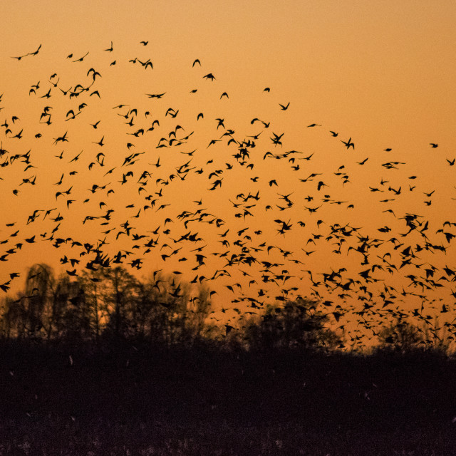 """Starlings in Somerset"" stock image"