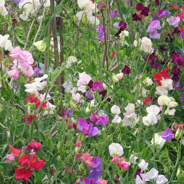 """""""Mixed colour sweet pea flowers"""" stock image"""