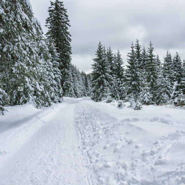 """""""Winter in the Forest"""" stock image"""
