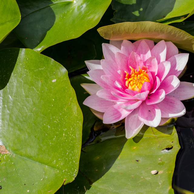 """Pink fresh water lily. Love Valentines day background email invi"" stock image"