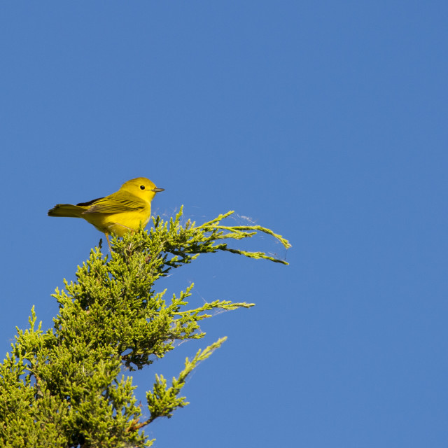 """""""Yellow Warbler Atop a Green Tree"""" stock image"""