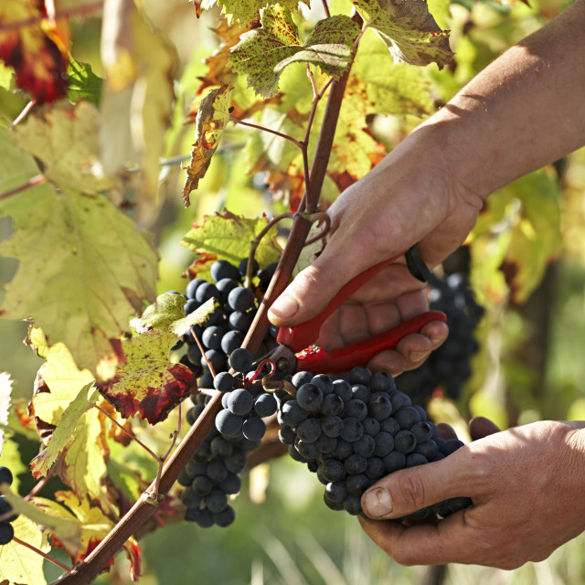 """""""Harvesting grapes by hand."""" stock image"""