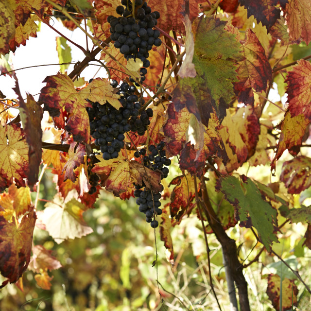"""""""Grapes ready for harvest on the vine"""" stock image"""