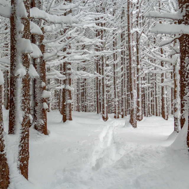 """Snow covered forest"" stock image"