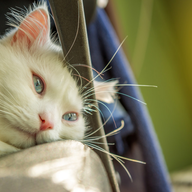 """White cat relaxing"" stock image"
