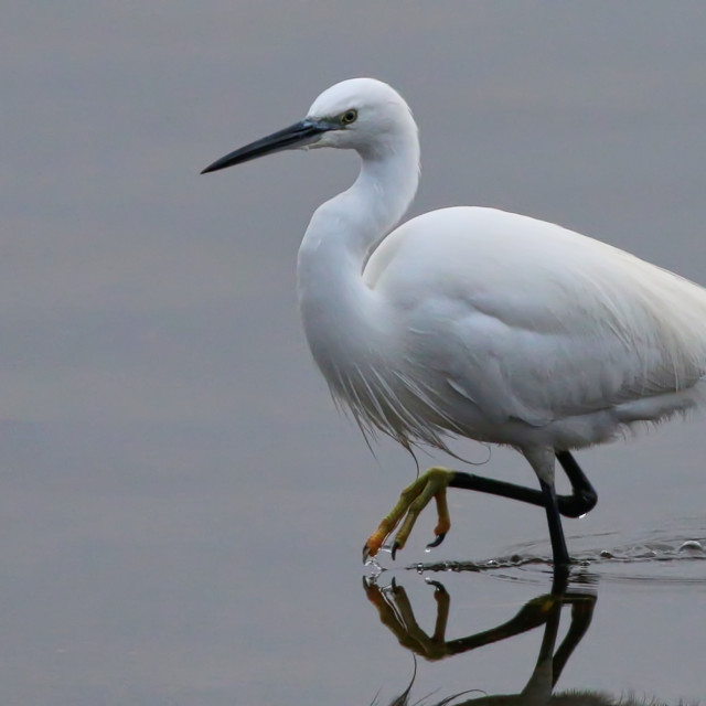"""Little Egret"" stock image"