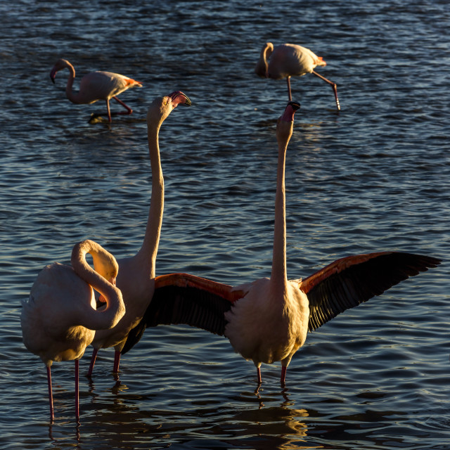 """Flamingos , Camargue, France"" stock image"