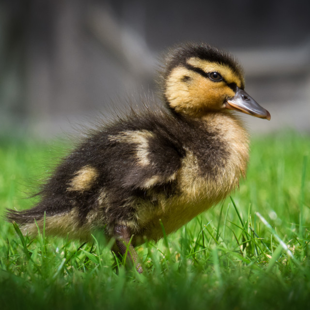 """""""Duckling in grass"""" stock image"""