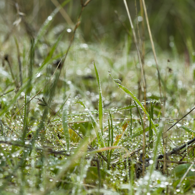 """Morning dew on grass."" stock image"