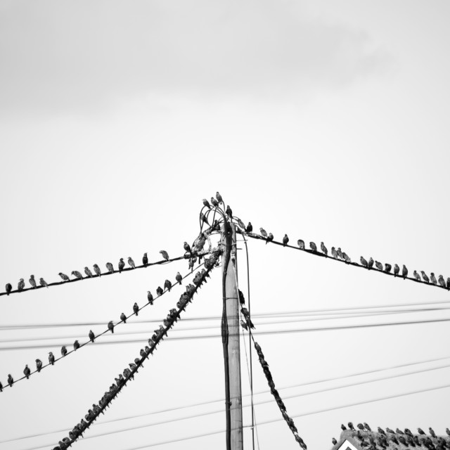 """starling birds on the telephone wires"" stock image"