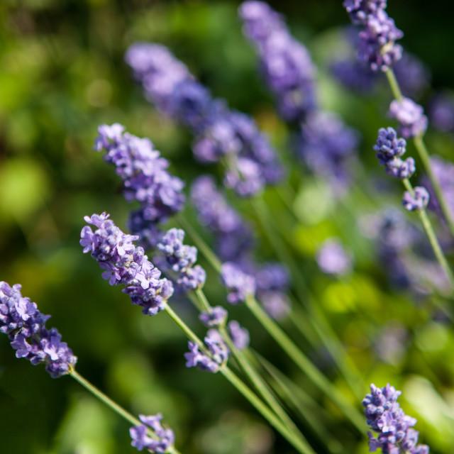 """Lavender flowers"" stock image"