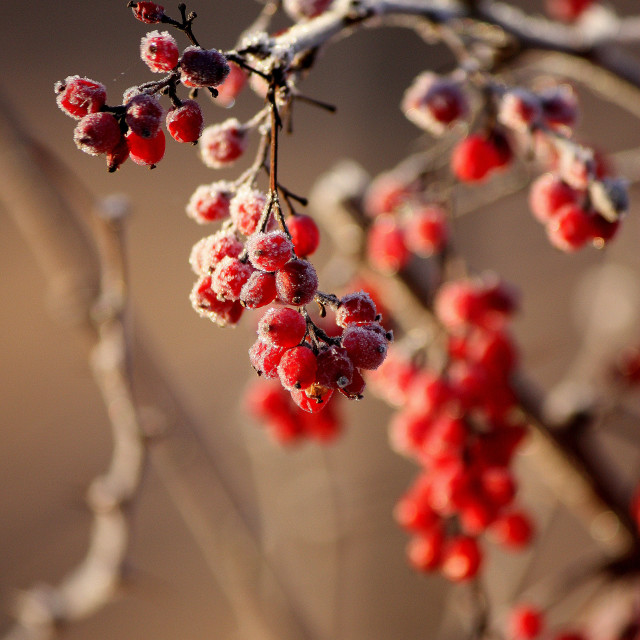 """Red berries 4"" stock image"