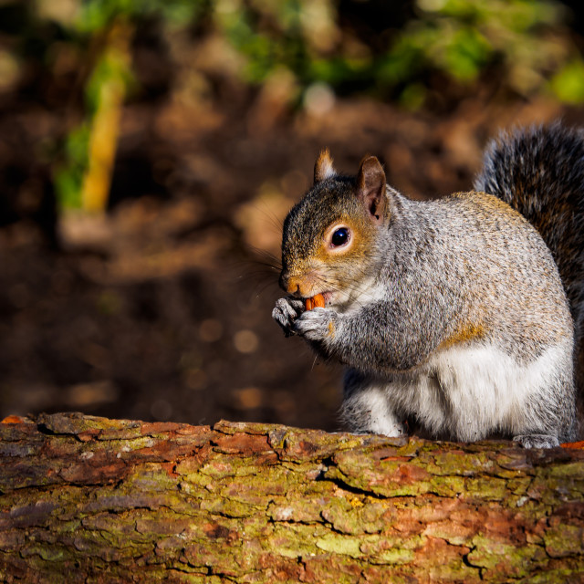 """""""Squirrel on a log"""" stock image"""