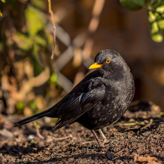 """Mr. Blackbird"" stock image"