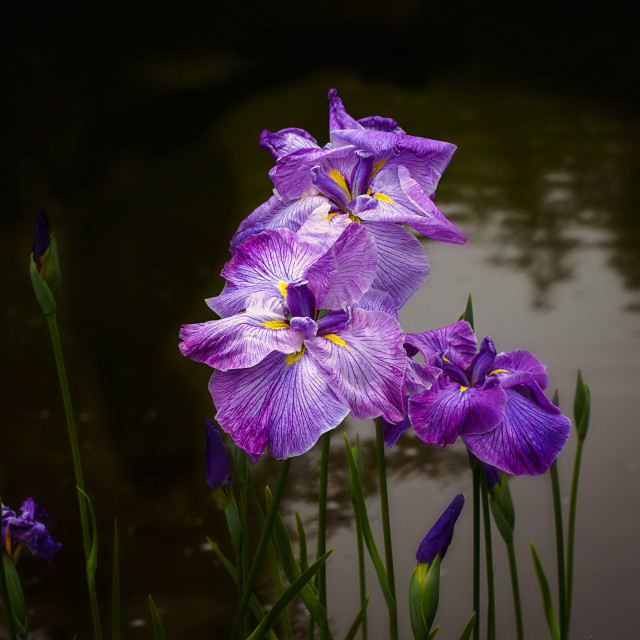 """wild irises growing in a pond"" stock image"