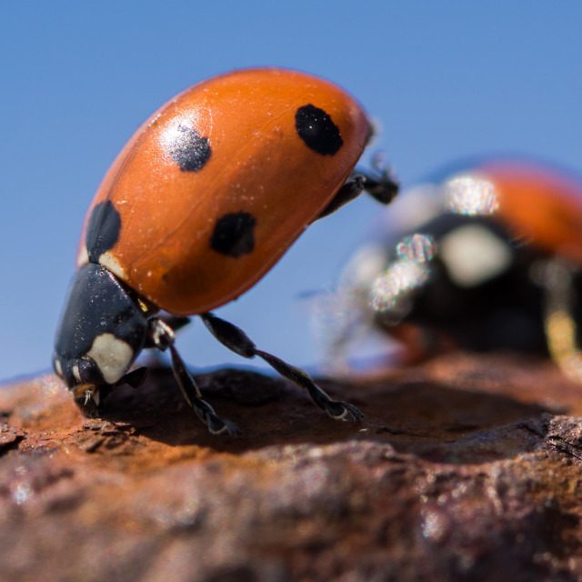 """Ladybug standing on his head"" stock image"