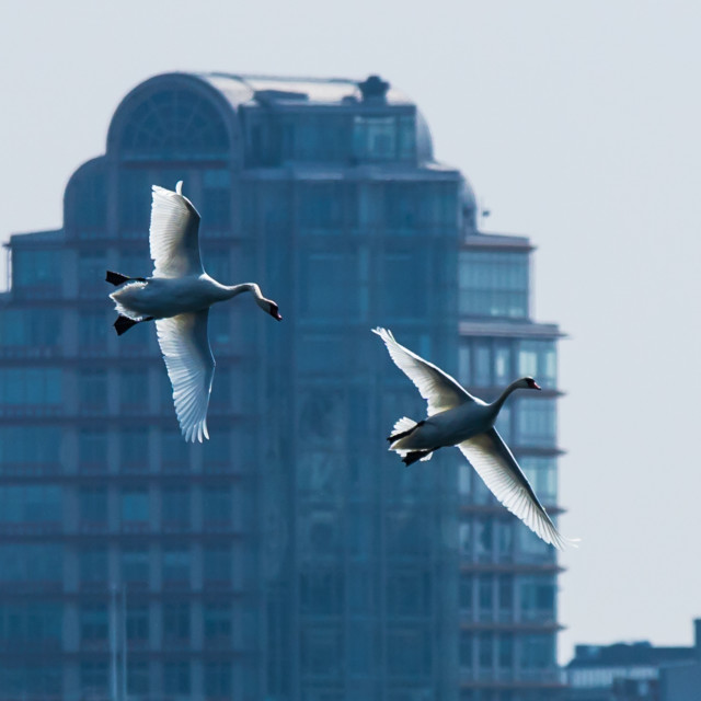 """Swans looking for a place to land"" stock image"