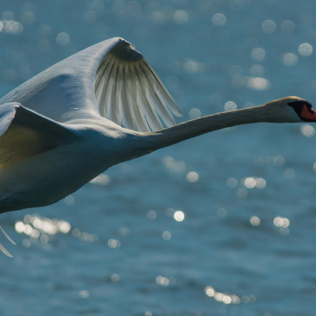 """Swan when landing"" stock image"